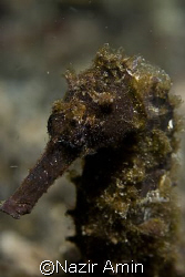 seahorse/hippocampus taken at Lembeh Straits by Nazir Amin
