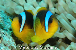 Scientific name:Amphiprion clarkii.  Spot: Isole Visayas  by Stefano Graziano