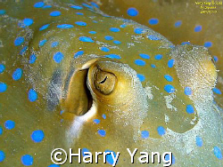 BLUE-SPOTTED STINGRAY. by Harry Yang