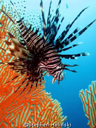 Lionfish shot, little guy swam away from me then decided ... by Stephen Holinski