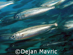 Sudenly I was in a school of fish and managed to take one... by Dejan Mavric