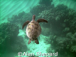Great colors.  Turtle in H-Bay on Oahu. by Alan Shepard