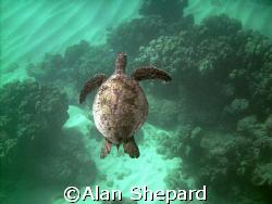 Great colors.  Turtle in H-Bay on Oahu. by Alan Shepard