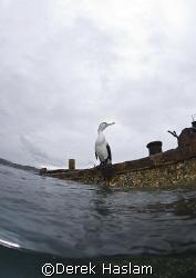 Cormorant on a wreck. Moreton island. D200, 10.5mm. by Derek Haslam