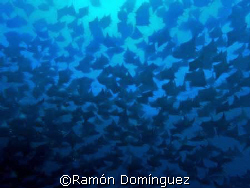 School of mobulas. Sea of Cortéz. by Ramón Domínguez