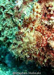 Well-hidden Scorpionfish by Stephen Holinski