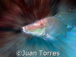 Hogfish and a about 5 minutes of playtime with Photoshop... by Juan Torres