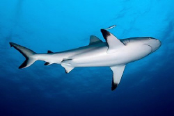 Grey reef shark - Chuuk/Truk Lagoon by Jim Garland