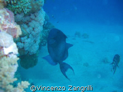 Marsa Alam, Abu Dabbab, Blue Triggerfish dancing on the r... by Vincenzo Zangrilli