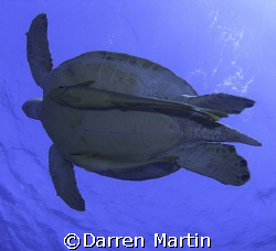 Turtle heading for the surface at Marsa Abu Dabab Souther... by Darren Martin