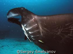 Manta ray by Sergey Emelyanov