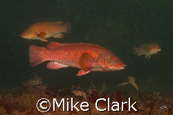 3 Ballan Wrasse at Cathedral Rock, St. Abbs, Scotland. D... by Mike Clark