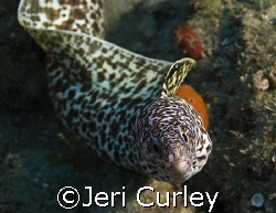 Spotted eel checking out my camera.  Taken with an Olympu... by Jeri Curley