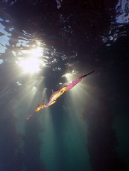 Weedy sea dragon laden with eggs.... Taken at Flinders P... by Cal Mero