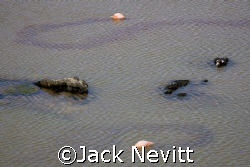 Flamingo Trails - Galapagos Islands by Jack Nevitt
