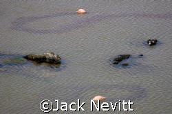 Flamingo Trails - Galapagos Islands by Jack Nevitt