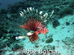 Free swimming lion fish.  Far from the reef. by Abbe Bglcsa