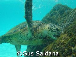 Green Sea Turtle, South Kohala Coast, Hawaii - 2007 AUG 06 by Gus Saldana