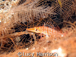 Longnose Hawkfish (Oxycirrhites typus) in sea fan, Big Dr... by Lucy Harrison