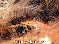 Longnose Hawkfish (Oxycirrhites typus) in sea fan, Big Dr... by Lucy Harrison