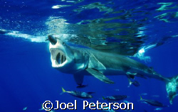 Great White Shark  Taken with Nicon D80  by Joel Peterson