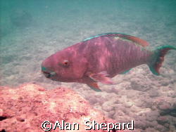 This parrot fish.  Real or claymation?  Taken at H-Bay, O... by Alan Shepard