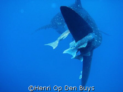 A whale shark during the safety stop in the Sea of Cortez... by Henri Op Den Buys