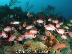 nice fish!!! at super bowl in parguera area!!! by Victor J. Lasanta