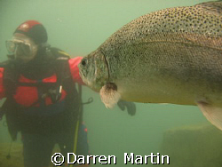 A trout looking at my Buddy Capernwray inland site uk Jul... by Darren Martin
