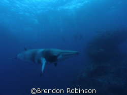 minke whale, hanging out by Brendon Robinson