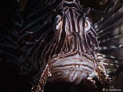 The Lionfish that now finds it's home in the Bahamas, thi... by Steven Anderson