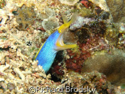 Ribbon eel (moray), Rhinomuraena quaesita by Richard Brodsky