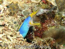 Ribbon eel (moray), Rhinomuraena quaesita by Richard Brodsky