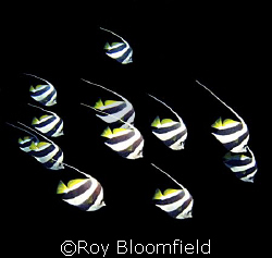 Bannerfish in formation. Taken near the island of Sumbawa. by Roy Bloomfield