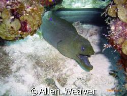 Moray in Belize by Allen Weaver