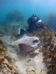 "My dive buddy ""jimswims"" investigating a large eagle ray.