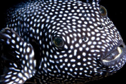 Inquisitive Spotted Puffer (Arothron meleagris).