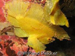 Leaffish on Pink Reef - Shimoni - Kenya by Wijnand Plekker