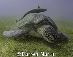 Turtle and Remora Marsa Abu Dabab by Darren Martin