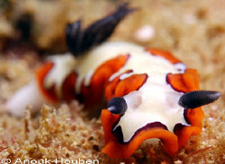 Nudibranch, Chromodoris fidelis. Picture taken on the sec... by Anouk Houben