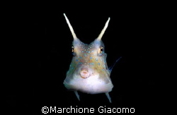 Cowfish. Nikon D200 , 60 micro , two strobo. Lembeh stree... by Marchione Giacomo