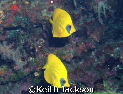 Pair of masked butterfly fish by Keith Jackson