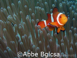 Never ending Nemo!  I just love taking clown fishes.  I l... by Abbe Bglcsa