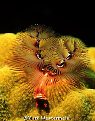 Tis the Season - Image taken in Caymans with a Nikonos RS... by Mark Westermeier