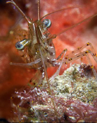 A temperate cleaner shrimp.  Shot with 3 X ucl 165's.