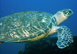 a hawksbill turtle glides  by divers on the USCGC Duane o... by Richard Manners