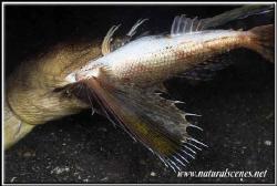 Snake eel VS flying gurnard guess how won !!!......... 3... by Yves Antoniazzo