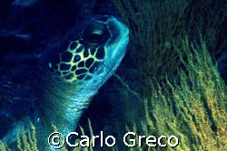 Turtle and seaweeds. Galapagos islands. by Carlo Greco