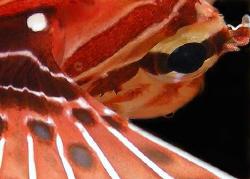 Lionfish by Martin Dalsaso