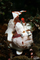 Harlequin frogfish. Picture taken near Alor, Indonesia.